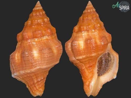 Leucozonia nassa leucozonalis