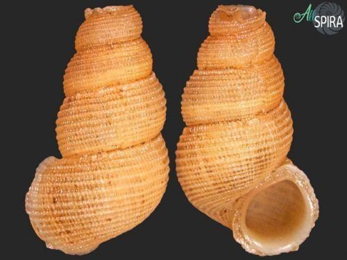 Chondropoma cf carenasense