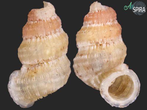 Rhytidopoma occidentale