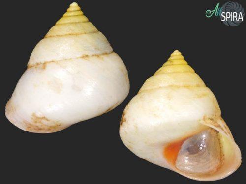 Troschelviana scopulorum