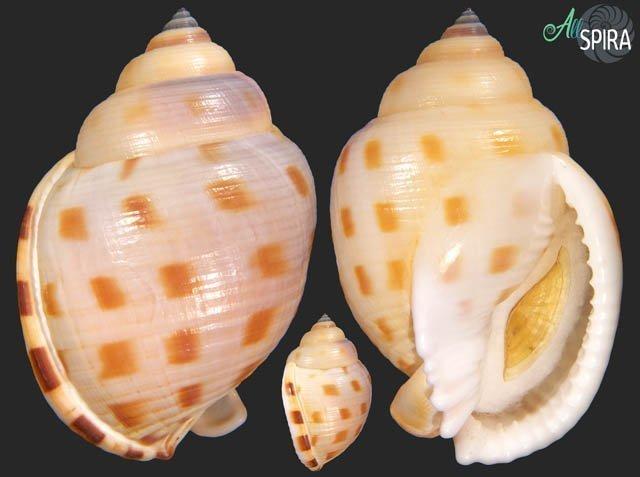 Semicassis faurotis