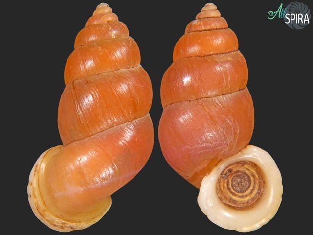 Farcimen subventricosum subventricosum