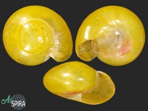 Proserpinidae
