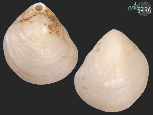 Terebratellidae