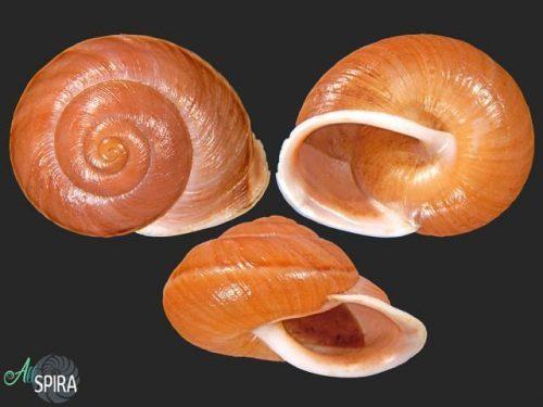 Eurycampta bonplandii
