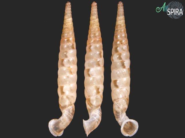 Tetrentodon striosa
