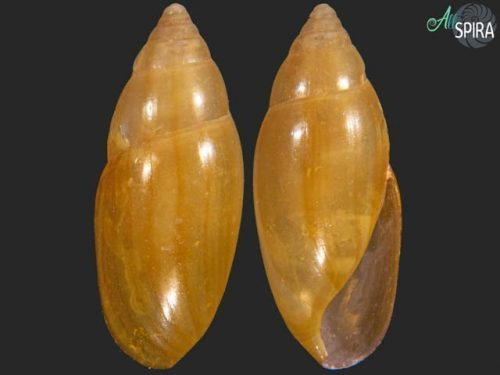 Laevoleacina oleacea