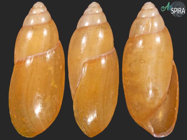 Oleacina solidula