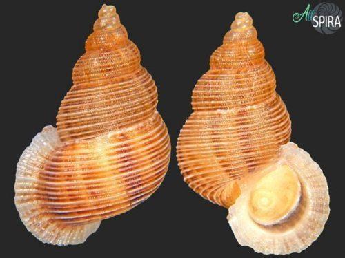 Chondrothyra tenebrata montalvensis