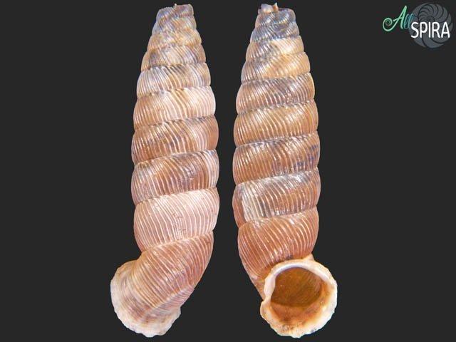 Nodulia vignalensis cabrerai