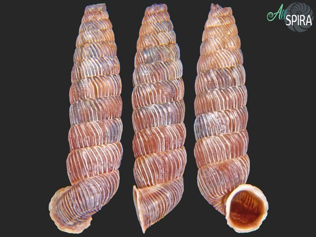 Nodulia vignalensis balnearum