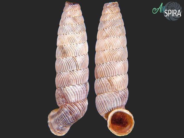 Nodulia vignalensis pallens