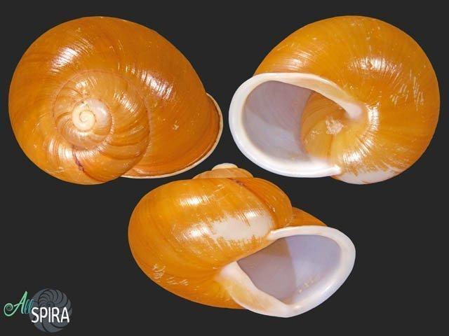 Zachrysia guanensis leucozoa