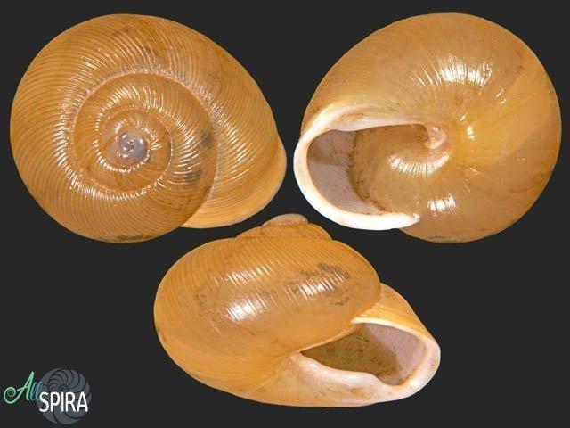 Zachrysia auricoma havanensis