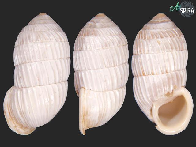 Cerion dimidiatum