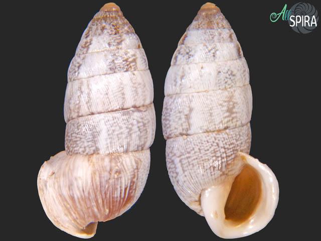Cerion dorotheae