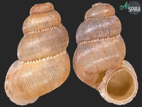 Opistosiphon quinti