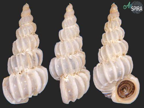 Cirsotrema magellanicum