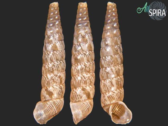 Tomelasmus torquatus