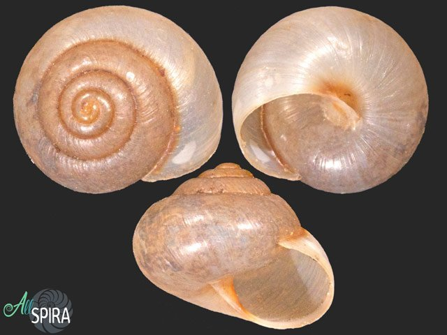 Hemitrochus amplecta