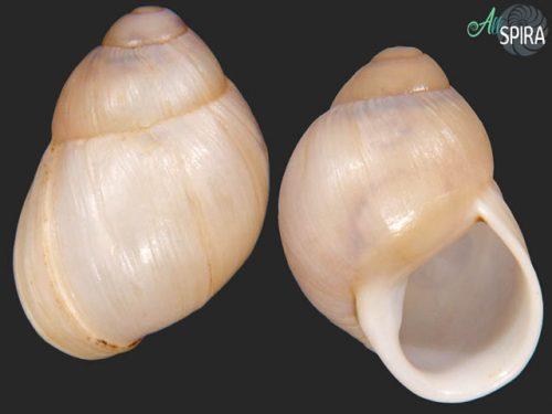 Austroborus dorbignyi