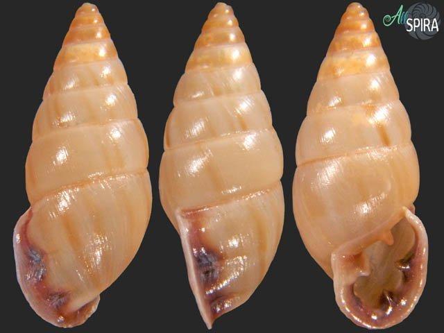 Cyclodontina sp.