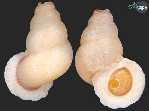 Chondrothyra tosta