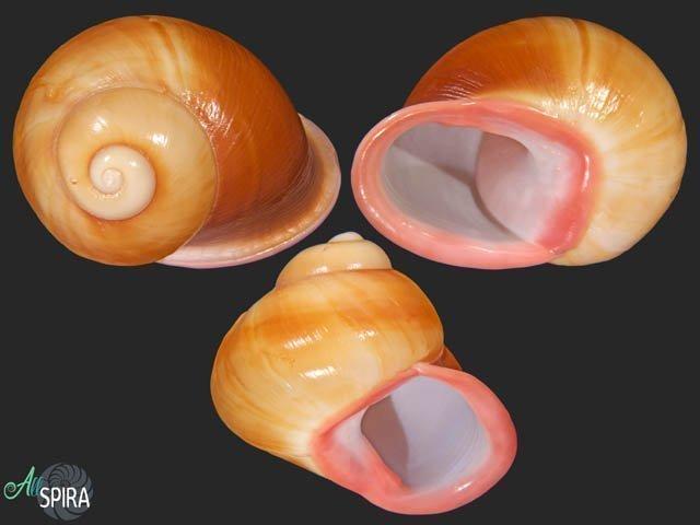 Acavus superbus roseolabiatus