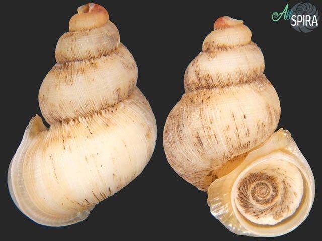 Rhytidothyra bilabiata aurantiaca - WHITE