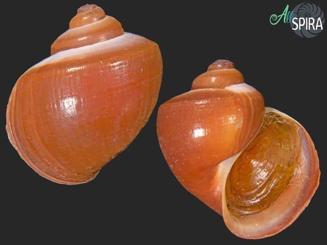 Pomacea scalaris