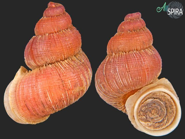 Rhytidothyra bilabiata aurantiaca