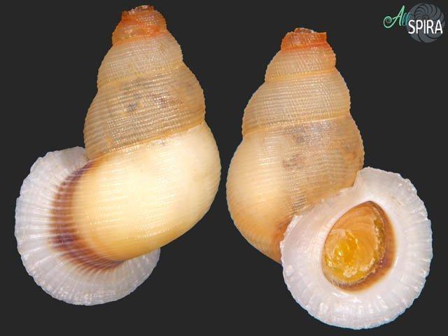 Chondrothyra tosta - SUPERB