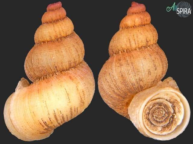 Rhytidothyra bilabiata bilabiata