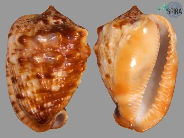 Cypraecassis coarctata