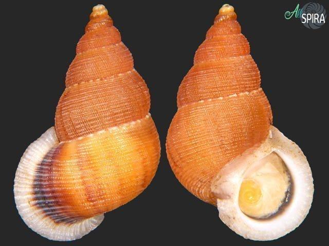 Chondrothyra reticulata scrobiculata