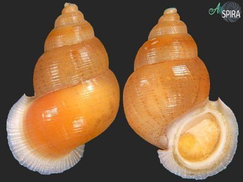 Chondrothyretes barbouri