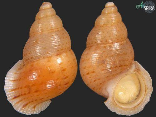 Chondrothyretes impressa gigantea