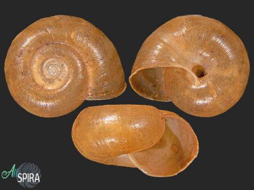 Cepolidae