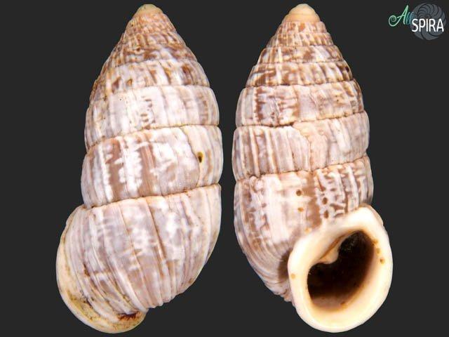 Cerion iostomum