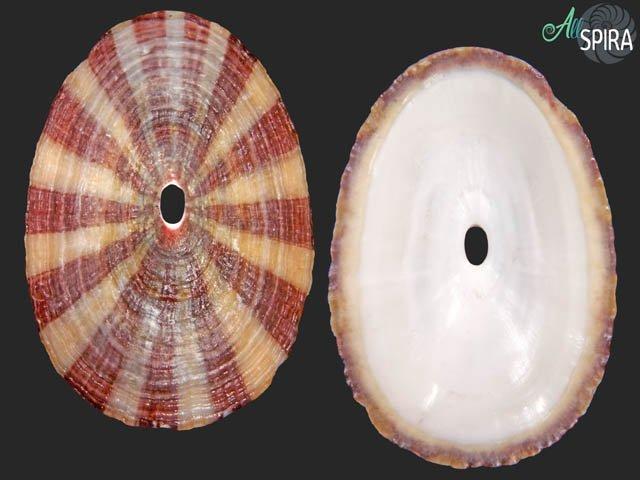 Fissurella maxima