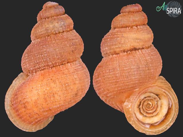 Rhytidothyra cf jacobsoni