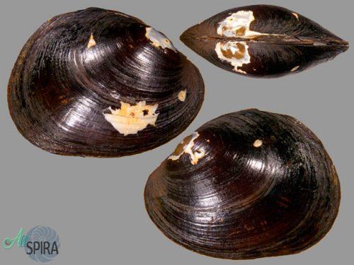 Rhipidodonta rhombea