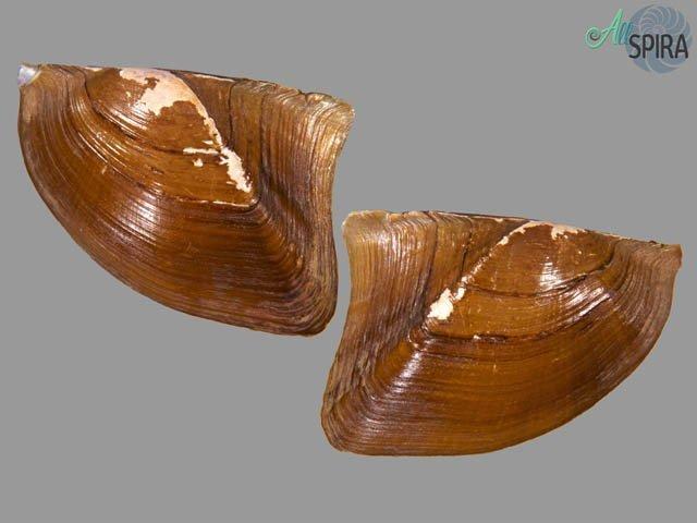 Prisodon obliquus