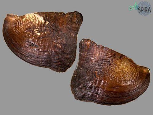 Prisodon corrugatus