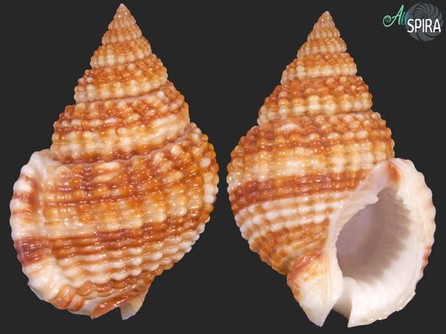 Nassarius catallus