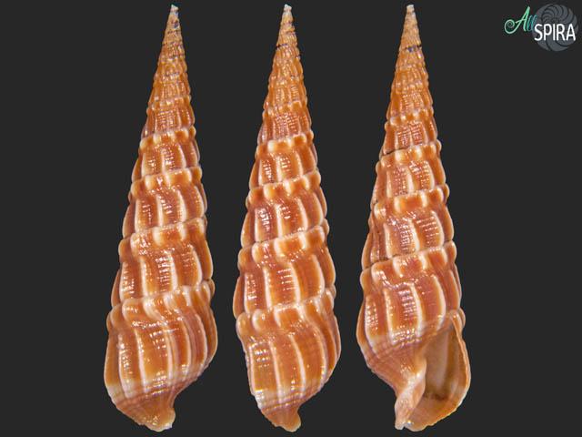 Terebra cf guayaquilensis