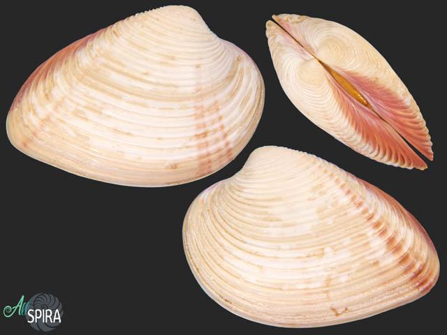 Lamelliconcha paytensis
