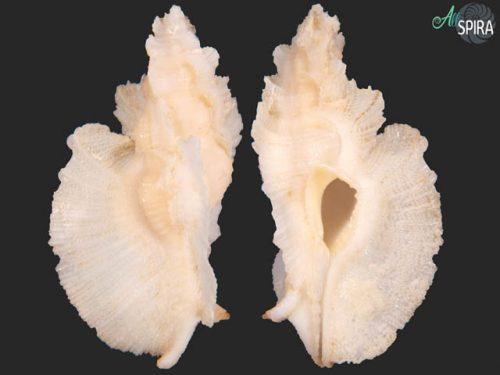 Pterynotus tripterus