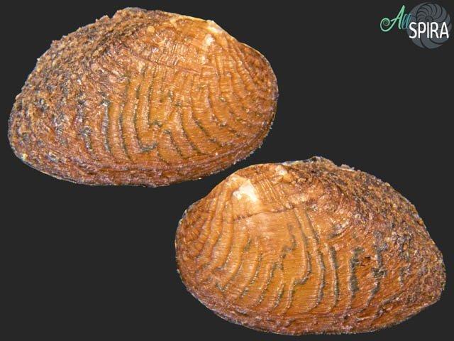 Scabies nucleus