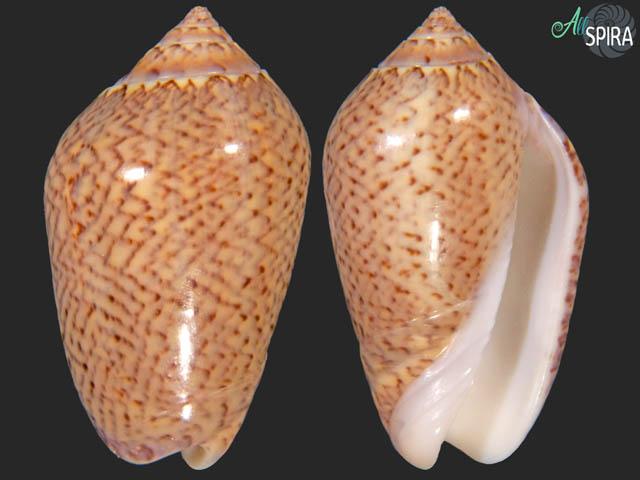 Oliva polpasta radix